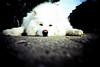 fluffy dog (lomokev) Tags: city dog white london lomo lca xpro lomography crossprocessed xprocess top20animalpix fluffy lomolca agfa jessops100asaslidefilm agfaprecisa lomograph agfaprecisa100 cruzando precisa deletetag jessopsslidefilm rota:type=showall file:name=brough611h use:on=moo σκυλοσ