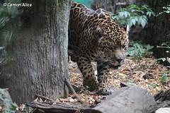 IMG_7737 (pinkystar_84) Tags: natura roar jaguar giaguaro animals animali mammals caccaitore predatore mammifero maculato manto felini pelliccia canon 700d colors colori