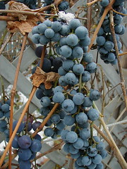 Grapes and Leaves and Vines