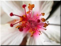 Hibiscus ( Graa Vargas ) Tags: white flower macro explore hibiscus interestingness80 graavargas 2005graavargasallrightsreserved 52204200411
