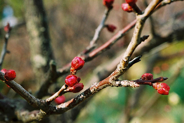 buds of a plum.