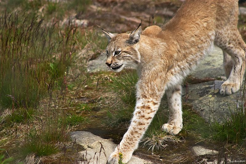 Lynx sneaking up.