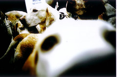 pro-hunt2-10 (lomokev) Tags: dog dogs lomo xpro crossprocessed xprocess brighton protest lomolca agfa jessops100asaslidefilm agfaprecisa bloodhound hunt prohunt laborpartyconference agfaprecisa100 cruzando precisa deletetag jessopsslidefilm rota:type=showall rota:type=happyaccidents file:name=prohunt210