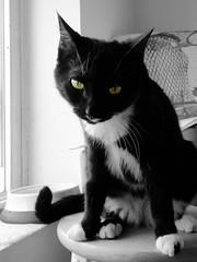 felix loses patience ((michelle)) Tags: fauna pet cat felix tuxedo cutout