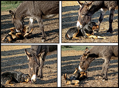 Dusty and Buddy...best friends (shadowplay) Tags: dogs donkey playtime dusty buddy ranchito aguadulce