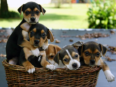 He Ain't Heavy... (Rachel Pennington) Tags: puppies jackrussell dogs canine kodak georgia basket poser pups puppy mix mischief litter sweet angel angels nap moment heavy sister brother siblings face faces paws claws doggy dog mask masks beagle mutts mutt heinz57 breed canedalepre briquet sprhund perrito chiot kra05 mostfavorited