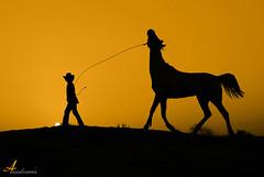 Little Cowboy [ Explore ] (ANOODONNA) Tags: horse sun black silhouette yellow cowboy explore frontpage canonef2470mmf28lusm littlecowboy canoneos50d flickrunitedaward anoodonna العنودالرشيد alanoodalrasheed