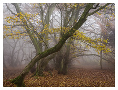 Slanted (Damian_Ward) Tags: damianward photography ©damianward coombehill lowscrubs buckinghamshire bucks chilterns chilternhills thechilterns nationaltrust mist tree woodland
