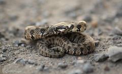Culebra viperina, Viperine water snake (Natrix maura) (Corriplaya) Tags: culebraviperina viperinewatersnake natrixmaura corriplaya reptil
