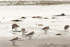 Dunlins and One Sanderling (mattbpics) Tags: canon 70d tamron 150600 150600mm sanderling dunlin sandpiper shorebird beach nature bird