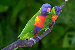 Lory Parrots @ Ardastra Gardens (bahamasoct2005) Tags: 2005 trip travel sea vacation 15fav green bird topf25 birds topv111 1025fav 510fav photoshop catchycolors garden 100v island zoo cool topv555 topv333 100v10f explor