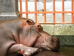 Hippo Orgasm?! (Werner Wattenbergh) Tags: zoo belgium belgique belgie orgasm antwerp hippo antwerpen anvers nijlpaard orgasme flickr:photographer=wernerwattenbergh