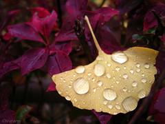 Rainy day (tearoom) Tags: 2005 autumn winter red macro rain yellow topv2222 ginkgo topf50 rainyday waterdrops today topf100 caplio raindrop ashiya hyogo gx 1000v40f abigfave 30faves30comments300views