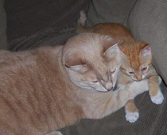 They Snuggle (spilltojill) Tags: pictures favorite orange pet cats pets cute cat orangecat kitten leo tabby favorites fave kitties tabbies faves top20catpix piper orangetabby charmed nugget myfaves gingercat kittycats orangecats nuggety orangetabbies piperandleo piperleo petfamily favepics jilbeansfaves oranget oreengeness ourfurryfamily jilbean3 jillwarner wwwjilbeancom picturesbyjillsaperstein wwwourfurryfamilycom ourfurryfamilycom