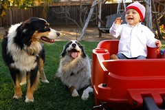 those silly dogs (jen clix) Tags: baby cute dogs laughing funny australianshephard jackwyatt tc86kidsbestfriend