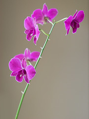 Window Light (konaboy) Tags: dendrobium orchid purple flower windowlight 11177