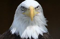z71 (alan57) Tags: birds eyes bald eagles baldeagles zoomontana alan57