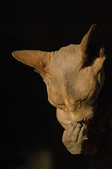 humanoid feline (Vina the Great) Tags: cat feline ps sphynx hairless washing humanoid otherwise abigfave