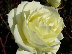Purity... (Supriya O) Tags: white flower macro nature beautiful rose tag3 taggedout garden petals tag2 tag1 pure supriyao