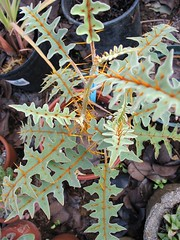 Solanum pyracanthum (joeysplanting) Tags: spines solanum solanaceae solanumpyracanthum porcupinetomato copperfirethorn