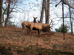 The Prince With His Harem (MsRupertG) Tags: driftwoodpa elk
