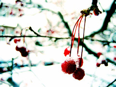 December Blood Through My Veins (Elinesca) Tags: winter cambridge red white snow berries bokeh christmascalendar2005 pcard efolio dorchesterp