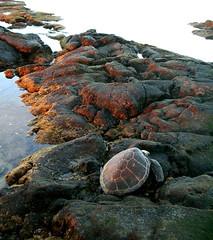 maverick (jurvetson) Tags: sea topf25 hawaii turtle dude 500plus20 creativecommons honu tortuga kona maverick