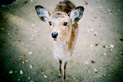 deer (zonepress) Tags: film japan lomo lca deer nara agfavista100