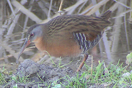 Virginia Rail by Quichua.