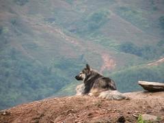 Sapa shepherd (McAsteve) Tags: vietnam sapa dog valley