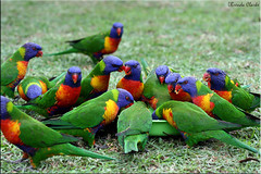For all my chilly flickr friends... (Brenda-Starr) Tags: nature topf25 birds dedication tag3 taggedout fauna canon ilovenature tag2 tag1 native wildlife australian canon350d december2005 ef100mmf28 canonrebel colourful rainbowlorikeet animalplane