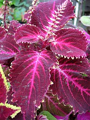 "Coleus ""New Orleans Red"""