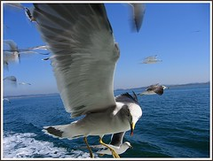Fly #3 () Tags: blue sea bird eye nature japan fly searchthebest wildlife seagull wing beak feathers matsushima height
