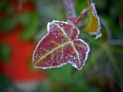 Frosted Ivy (Dave Ward Photography) Tags: 2005 winter usa cold macro ice closeup season us washington leaf frost seasons unitedstates ivy bellingham wa chilly signsoftheseasons whatcom davewardsmaragd pss:opd=1134327061