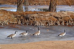 Follow the Leader (Bucket2005) Tags: oklahoma ice tag3 taggedout mos 100v frozen geese duck top20np pond tag2 tag1 top20winter canadian norman 600v 200v iwant5 500v 300v urfavswinter