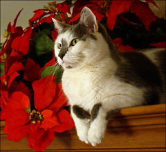 Dylan, the Christmas cat (tschopper (Tom Schopper Photography)) Tags: christmas red dylan cat gato poinsettias perching watchingjanicedecoratethetree ccc19 colorphotoaward lofdecb07