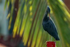 Pacific Reef-Egret /  Dark morph (bocavermelha-l.b.) Tags: d70s aves garça pacificreefegret darkmorph 80200mmf28d egrettasacra ornitologia demigrettasacra easternreefheron bluereefegret reefheron dimorphic tc14e garçadosrecifesoriental garzadelosarrecifes garcetacosteraoriental matukumoana inbali pacificreefheron foundinnusadua south–china–sea inindonesia
