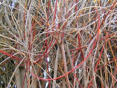 Dogwood Tangle (MaureenShaughnessy) Tags: autumn red 15fav plants sunlight abstract cold fall texture nature design montana seasons changingseason earth patterns branches textures helena dogwood thebigsky transition botany tangle complex botanica colorsoffall tangled dense thicket transitions mutedcolor subtlecolors colorsofautumn changingseasons coldseason seasonalcolor fallintowinter autumnintowinter gordian 59601 harvestingthelight itsgettingcolder thelastbestplace goinginward bpotd seasonalrhythmscolorwinter seasonalrhythmstexturewinter seasonalrhythmstexturefall seasonalrhythmswinter seasonaltexture seasonalrhythmsfall ubcbgbotanyphotooftheday