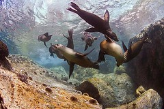 Sea lion tug o' war (gerb) Tags: topf25 beautiful topv111 topv2222 1025fav wow ilovenature cool topv555 topv333 underwater lovely1 quality topv1111 topv999 scuba fv5 loveit topc100 topv5555 pi 50100fav wildanimal blogged topv777 d100 thumbsup sealion topv3333 seaofcortez topv7777 helluva naturesfinest twothumbsup 105mmf28gfisheye 999v9f cotcpersonalfavorite outstandingshots specnature specanimal pfo animalkingdomelite great3x wowx 3waychallenge 3wc tvx 3w5 p1f1 qemdfinchadminfave superbmasterpiece diamondclassphotographer flickrdiamond flickrelite tu5 photofaceoffwinner bfgreatesthits bflfgreatesthits pfogold msanimal tu5u thumbsupwrestling tuw072