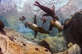 Sea lion tug o' war