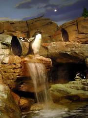 Lion King Penguin (jillmotts) Tags: geotagged penguin montereybayaquarium splashzone mbayaq geo:lat=36618550 geo:lon=121901647 jillmotts