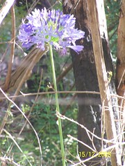 Agapanthus (Tennant Toots) Tags: ferntree gully national park