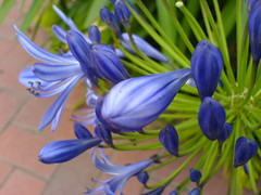 african lily (irrational_cat) Tags: flower agapanthus africanlily