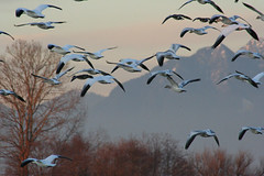 IMG_8809.jpg (wildorcaimages) Tags: snowgeese birds