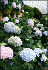 Hydrangea macrophylla (Mophead Hydrangea) of various colors at the Cactus Valley, Cameron Highlands - Taken July 31, 2005