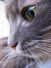 Misha (Svetlana Serdiukova) Tags: portrait white green topv111 closeup 510fav cat nose grey eyes gray whiskers tiggra15 ggg02 slideshowggg02 svetlanaserdiukova