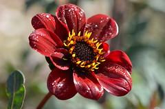 Red flower (dfromonteil) Tags: flower fleur dew rosée gouttes droplets light sunlight lumière rouge jaune noir vert black yellow red green colors couleurs nature plante plant macro bokeh wow