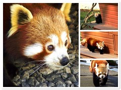Red Panda Montage (Mockney Rebel) Tags: fdsflickrtoys abigfave againstflickrcensorship