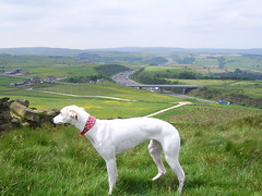 polly (shoot rampton) Tags: life hairy dog greyhound white silly cute home animal crazy funny gorgeous yorkshire scenic fast lazy stupid muppet daft huddersfield outlane chilled m62