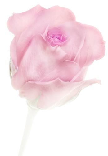Rose Study 1